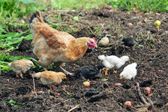 Mother hen with chickens Royalty Free Stock Images