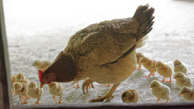 Hen with chicks in Sa Pa valley. A mother hen and chicks of the Black Hmong people in Sa Pa Valley in Vietnam stock image