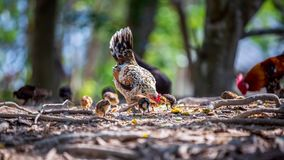 Mother hen and her baby Chickens pecking grain on ground. Chicks with their mom eating grain on ground. Blur foreground and background royalty free stock image