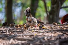Mother hen and her baby Chickens pecking grain on ground. Chicks with their mom eating grain on ground. Blur foreground and background royalty free stock photography