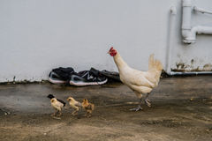 Mother hen and her baby chicks Royalty Free Stock Images