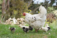 Mother hen with her chickens. Cute free range bantam chicken with all her chickens around her stock images