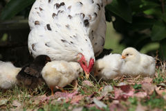 Mother hen with her chickens. Cute free range bantam chicken with all her chickens around her royalty free stock photo