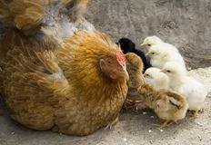 Mother hen and her chicks Royalty Free Stock Photo