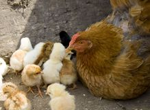 Mother hen and her chicks I Royalty Free Stock Image