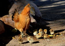 Mother Hen Royalty Free Stock Photos