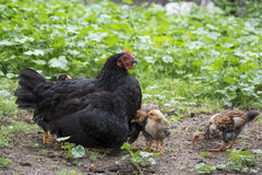 Mother hen with its baby chicken Royalty Free Stock Photo