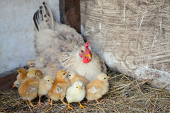 Mother hen with little chickens. Mother hen with cute little chickens on the farm royalty free stock photography