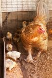 Mother Hen protecting her newborn baby chickens. When they are eating meal in the Chicken Coop royalty free stock images