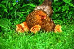 Mother hen surrounded by her chicks royalty free stock photography