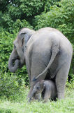 Mother and her baby elephant Stock Image