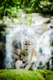 Mother and her baby. A mother monkey resting with her baby Royalty Free Stock Photography