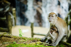 Mother and her baby. A mother monkey resting with her baby hanging Stock Photography
