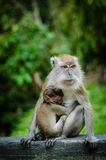 Mother and her baby. A mother monkey resting with her baby hanging while breast feeding Stock Image