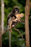 Mother and her baby monkeys are mischievous ( Presbytis obscura reid). Royalty Free Stock Photography