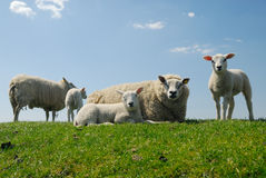 Mother with her cute lambs royalty free stock photos