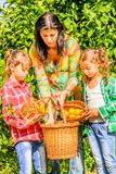 Mother and her Daughters  picking clementines. Mother and her Daughters are picking clementines Royalty Free Stock Photography