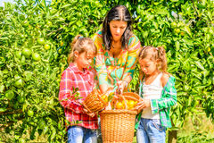 Mother and her Daughters picking clementines. Mother and her Daughters are picking clementines stock image
