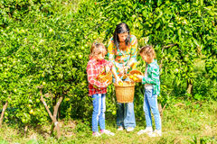 Mother and her Daughters  picking clementines. Mother and her Daughters are picking clementines Royalty Free Stock Photos