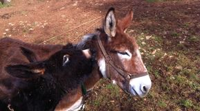 Mother and her donkey son. Brown mother and her black donkey son Royalty Free Stock Image