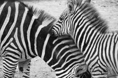 Zebra, Equus Quagga in the Zoo Blijdorp in the city Rotterdam in the summer in black and white. Mother and her offspring zebra, Equus Quagga in the Zoo Blijdorp royalty free stock image