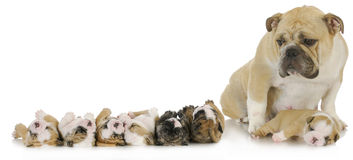 Mother and her puppies Stock Image
