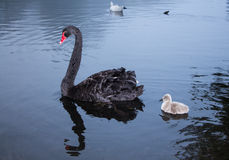 Mother & her swanling Royalty Free Stock Photography
