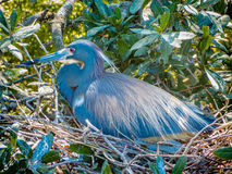 A Mother Heron on the nest Stock Image