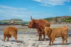 Mother Highland Cow With Baby Cows on the Beach in Scotland royalty free stock images