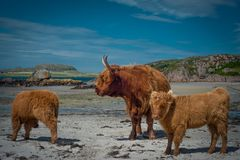 Mother Highland Cow With Two Calves on the Beach on the Isle of royalty free stock photos