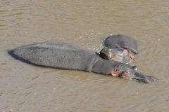 Mother Hippopotamus and her baby sleeping under the water Royalty Free Stock Image
