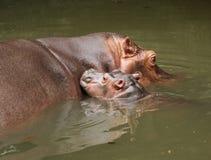 Mother Hippopotamus with her young Stock Photos