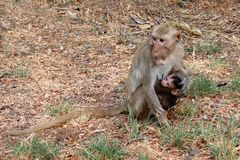 Mother holding baby monkey And feeding the monkeys in the wild royalty free stock image