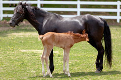 Mother horse with baby. Foal nursing Royalty Free Stock Photography