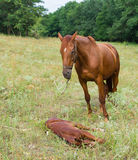 Mother horse and baby foal Royalty Free Stock Photography