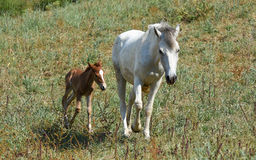 Mother horse and baby horse walking on grass. Stock Images