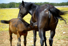 Mother horse with colt. A tender moment of a mother horse with colt Stock Photos
