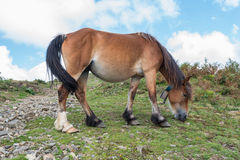 A mother horse is eating grass in the mountain Royalty Free Stock Photos