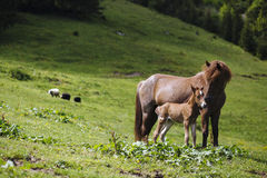 Mother horse feeding baby horse Stock Image