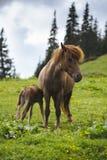 Mother horse feeding baby horse Stock Photos
