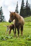 Mother horse feeding baby horse Stock Photo