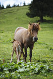 Mother horse feeding baby horse Royalty Free Stock Photos
