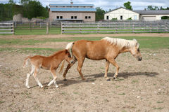 Mother horse and foal. Miniature horse with the  baby foal Royalty Free Stock Photo