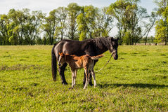 Mother horse and foal in a field cub Stock Photos