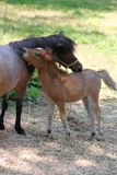 Mother horse and foal Royalty Free Stock Photo