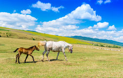 Mother horse and her baby on a beautifull green hill Stock Photos