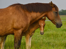 Mother horse and her baby colt in summer Royalty Free Stock Images