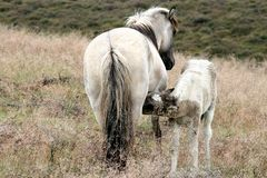 Mother horse and her breastfeeding foal Royalty Free Stock Photos