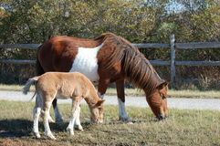 Mother Horse with her Foal Royalty Free Stock Image