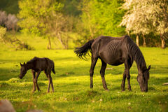Mother horse with her foal grazing on a spring green pasture against a background of green forest in the setting sun Stock Photos